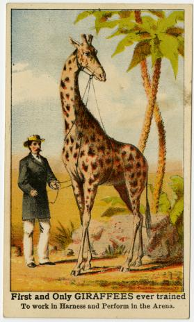 Adam Forepaugh: First and Only Giraffees ever trained