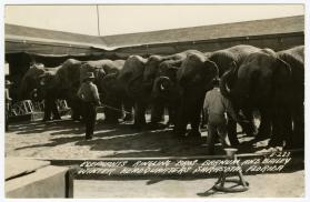 Elephants; Ringling Bros. Barnum and Bailey Winter Headquarters Sarasota, Florida