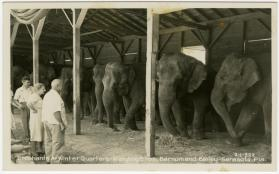 Elephants At Winter Quarters - Ringling Bros, Barnum and Bailey - Sarasota, Fla.