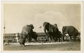 Elephants in Ring