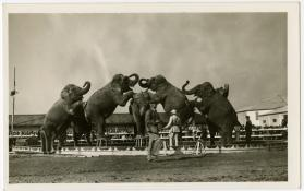Elephants in Ring in Formation