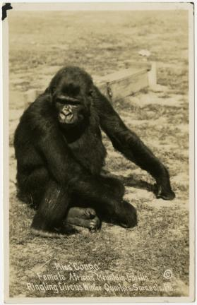 "Miss ""Congo""; Female African Mountain Gorilla; Ringling Circus Winter Quarters, Sarasota, Fla."