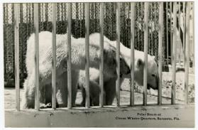 Polar Bears at Circus Winter quarters, Sarasota, Fla.