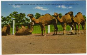 Single and Double Humped Camels at Ringling Bros.  Winter Quarters, Sarasota, Fla.