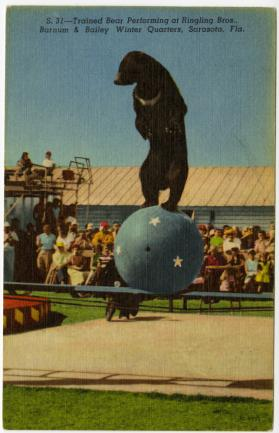 Trained Bear Performing at Ringling Bros., Barnum & Bailey Winter Quarters, Sarasota, Fla.