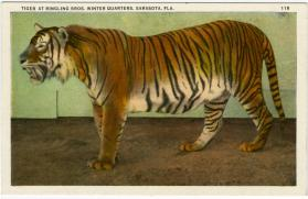 Tiger at Ringling Bros. Winter Quarters, Sarasota, Fla.