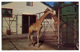 Giraffes, Winter Quarters