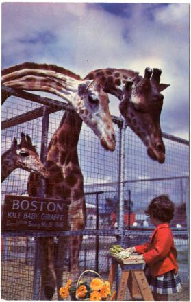 "Giraffes and ""Boston"" the Baby Giraffe, Winter Quarters"