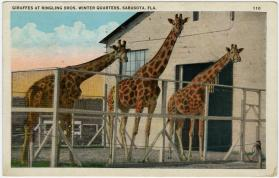 Giraffes at Ringling Bros. Winter Quarters, Sarasota, Fla.