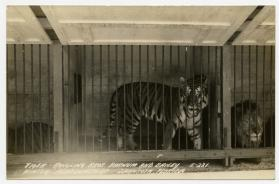 Tiger; Ringling Bros. and Barnum & Bailey Winter Quarters, Sarasota, Florida
