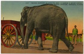 Trained Elephant at Ringling Bros. and Barnum & Bailey Circus, Winter Quarters, Sarasota, Florida