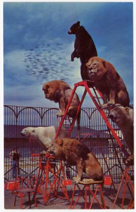 "Lions and Bears at the winter home of ""The Greatest Show on Earth,"" Sarasota, Florida."