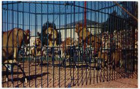 Lions performing in outdoor cage