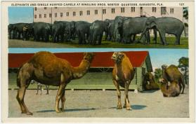 Elephants and Single Humped Camels at Ringling Bros. Winter Quarters, Sarasota, Fla.