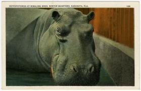 Hippopotomus at Ringling Bros. Winter Quarters, Sarasota, Fla.