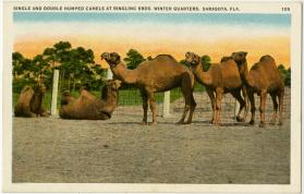 Single and Double Humped Camels at Ringling Bros. Winter Quarters, Sarasota Fla.