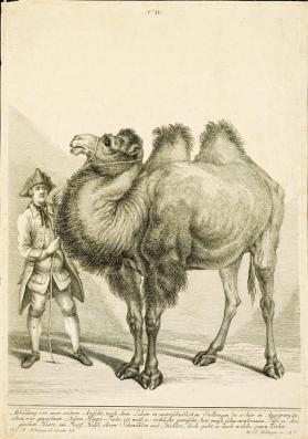 A Camel with two humps